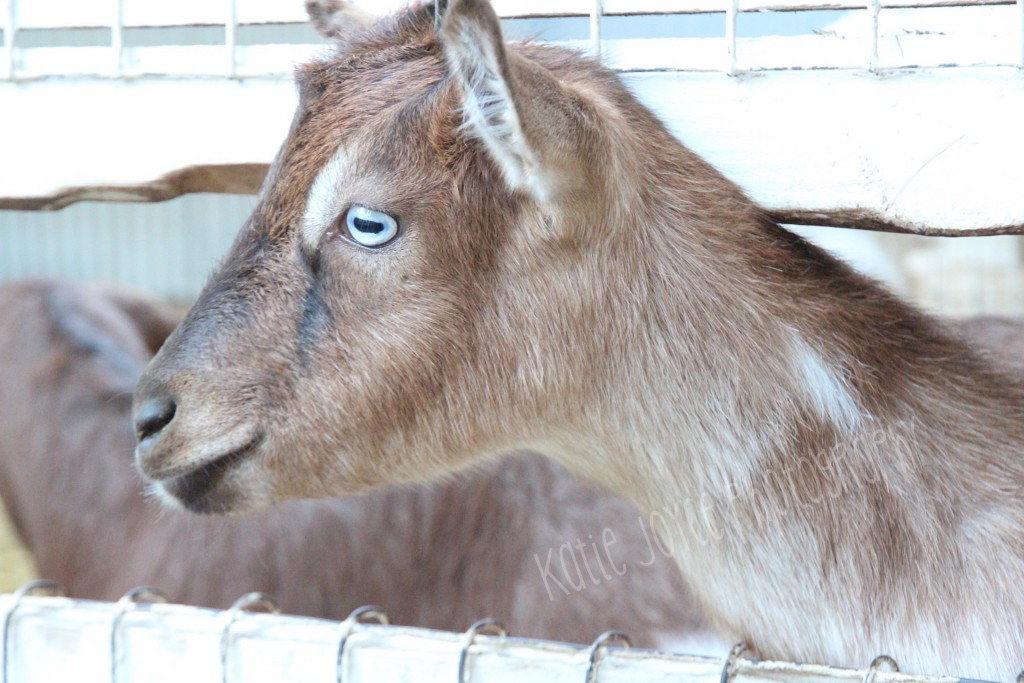 Blue Eyed Goat