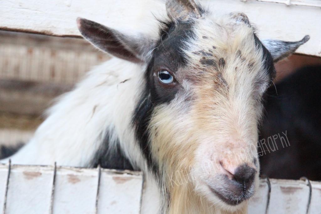 Blue Eyed Goat 2